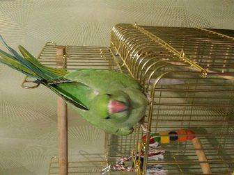 Просмотреть фото  продам ожерелового попугая 34863438 в Новосибирске