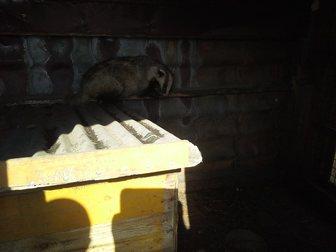Уникальное foto Другие животные барсук 34999197 в Новосибирске