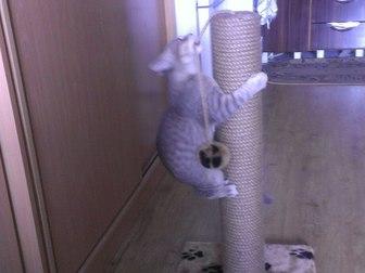 Скачать фотографию Отдам даром - приму в дар Отдам кота в добрые руки, полубританец 41269763 в Новосибирске