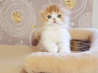 Красный котик хайленд фолд в поисках своих мамы и папы! Очень нежный и ласковый малыш,  Освоил лоток и когтеточку,имеет отличный аппетит,  Цена указана за домашнего в Новосибирске