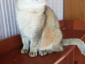 В связи с прекращением работы питомника  продам недорого кошечек и котиков британской породы, Животные находятся в Томске, Отправлю бла бла кар, в Новосибирске