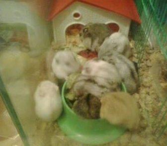 Фотография в Домашние животные Грызуны продам джунгариков разного размера и цвета в Новосибирске 0