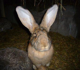 Фото в Домашние животные Грызуны Продам кроликов мясной породы Серый Великан в Новосибирске 2000