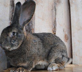 Фото в   Продам кроликов бельгийский фландр и французский в Новосибирске 0