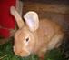 Foto в Домашние животные Грызуны Продам кроликов мясной броллерной породы в Новосибирске 1000
