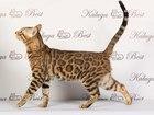 Скачать фотографию Вязка Бенгальские котики зовут на вязку 38595062 в Обнинске