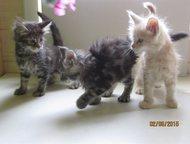 Котята мейн-кун Продаются котята породы мейн-кун от очень шикарных родителей. У
