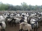Просмотреть фотографию Другие животные Продам домашнюю баранину на мясо по цене 210р за кг, 37570397 в Обояни