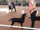 Изображение в Собаки и щенки Вязка собак Лабрадор, 1год 8 месяцев, 100% Фин отличная в Одессе 0