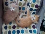 Отдам в хорошие руки маленьких рыженьких котят Отдам маленьких пушистых рыженьки