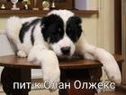 Среднеазиатская овчарка фото в Одинцово
