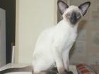 Изображение в Кошки и котята Продажа кошек и котят Официальный питомник предлагает Ориентальных в Москве 40000