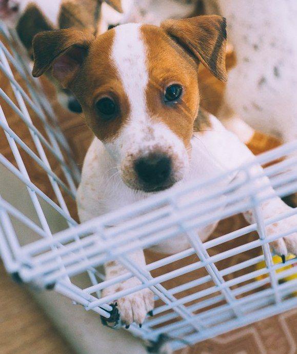 которые джек рассел терьер фото щенки цена новосибирск стандарт