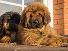 Фото в Собаки и щенки Продажа собак, щенков Предлагаем к продаже щенов Тибетского мастифа в Омске 0