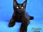 Фотография в Кошки и котята Продажа кошек и котят Наш питомник Мейн-кунов предлагает к продаже в Омске 40000