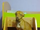 Фото в Собаки и щенки Вязка собак Той-Терьер сучка 1 год, нужен мальчик в Омске 0