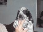 Фото в Собаки и щенки Продажа собак, щенков Отличный, крепкий, здоровый Алиментный щенок в Омске 4000
