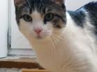 Изображение в Кошки и котята Вязка Рекомендую кота на вязку, возраст 1, 5 года. в Омске 0