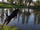 Скачать foto Вязка собак Лабрадор кобель ищет даму 67725363 в Омске