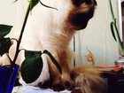 Фотография в Кошки и котята Вязка шотландская вислоухая кошечка, окрас colour в Орехово-Зуево 0