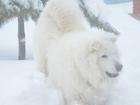 Изображение в Собаки и щенки Вязка собак Красивый кобель ищет невесту. в Оренбурге 0