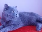 Свежее фото Вязка Шикарный британский кот приглашает британских кошечек на вязку 34534585 в Оренбурге
