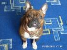 Скачать бесплатно фото Вязка собак Девочка- француженка ищет красивого джентльмена , 37116347 в Бузулуке