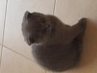 Фотография в   Шотландский вислоухий котенок, игривый, к в Оренбурге 0