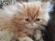 Продается персидский котенок Персидский котенок. Девочка. Возраст 2 месяца. Окра