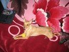Фотография в Собаки и щенки Вязка собак Самочка Пинчер окрас рыжый , три года, прививки в Орске 0