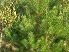 Фото в Домашние животные Растения Живые новогодние сосны оптом в Крыму. Большой в Симферополь 350