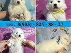 Фото в Собаки и щенки Продажа собак, щенков Продаю щеночков самоедской лайки в типе мишка! в Пензе 0