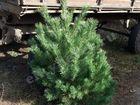 Скачать изображение Растения Живые Новогодние елки оптом Пенза 37426712 в Пензе