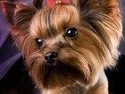 Изображение в Собаки и щенки Стрижка собак Дорогие друзья, наступает пора Новогодних в Пензе 500