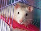 Скачать фото  Ручная крыса 38311272 в Пензе
