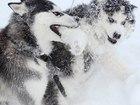 Фотки и картинки Сибирский хаски смотреть в Переславле-Залесском