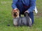 Изображение в   Питомник декоративных собак ОриСилк предлагает в Нефтеюганске 25000