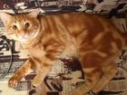Фото в Кошки и котята Вязка Дадим кота чистопородного на вязку. Возраст в Перми 1