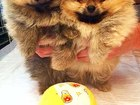 Фотография в Собаки и щенки Продажа собак, щенков Щенки шпицев, игривые красивые малыши ищут в Перми 20000