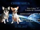 Фотки и картинки Чихуахуа смотреть в Перми