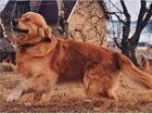 Уникальное изображение Вязка собак Вязка Голден ретривера 39201038 в Перми