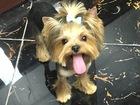 Фотография в Собаки и щенки Вязка собак Молодой, опытный йоркширский терьер, имеет в Первоуральске 0