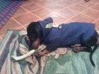 Фото в Потерянные и Найденные Потерянные Потерялась собака, девочка. Порода такса, в Первоуральске 0