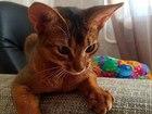 Увидеть фото Вязка кошек Абиссинская кошечка ищет жениха 60291927 в Петрозаводске
