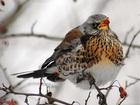 Скачать бесплатно изображение Птички и клетки Певчий дрозд - ищет надёжный дом, заботливые руки и доброе сердце, 55580120 в Санкт-Петербурге
