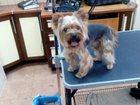 Скачать фото Услуги для животных Подстригу ваших лохматых малышей 32738792 в Подольске