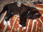 Фото в Кошки и котята Продажа кошек и котят Отдаю даром двух кошечек, родились 14 июля в Подольске 1