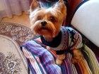 Скачать изображение Вязка собак Вязка йоркширского терьера(кабель) 38956003 в Подольске