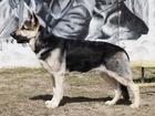 Скачать фото Вязка собак Кобель ВЕО для вязки 39006933 в Подольске