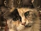 Свежее фото Вязка кошек Срочно на вязку мальчик Мейн-кун 67980601 в Подольске